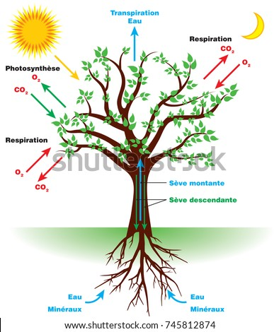 Photosynthesis diagram stock images royalty free images vectors tree photosynthesis diagram in french ccuart Choice Image