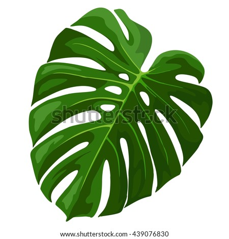 Tropical Leaf Monstera Plant isolated on white - stock vector