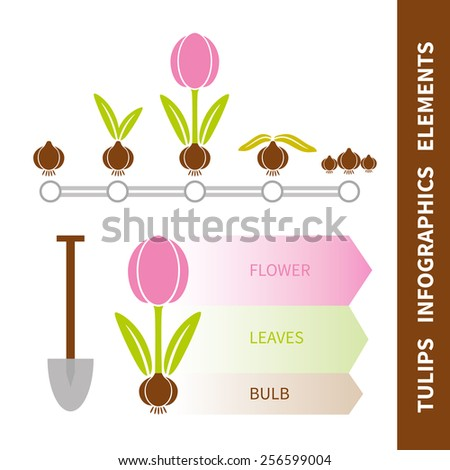 Tulip infographics elements set. Timeline of life of tulip bulb. Vector - stock vector