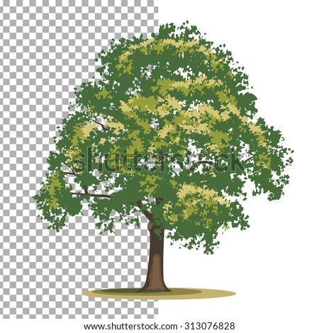 Tulip tree. Isolated vector tree on white background. - stock vector
