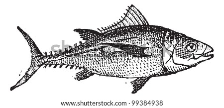 Tuna fish on white background, vintage engraved illustration. Dictionary of words and things - Larive and Fleury - 1895. - stock vector