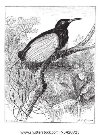 Twelve-wired Bird-of-paradise or Seleucidis melanoleucus or Seleucidis melanoleuca, vintage engraved illustration. Dictionary of words and things - Larive and Fleury - 1895.