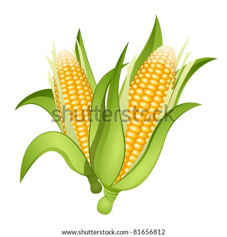 Two ears of corn isolated - stock vector