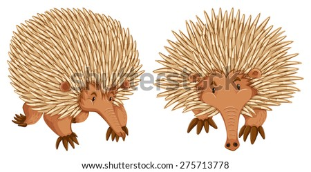 Two echidna on white background