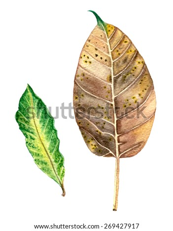 Two Fall Leaves. Hand Drawn Vector Watercolor Illustration. Isolated on white background.