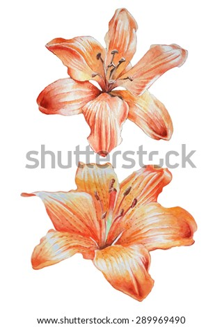 Two orange lilies. Watercolor. Hand drawn. - stock vector