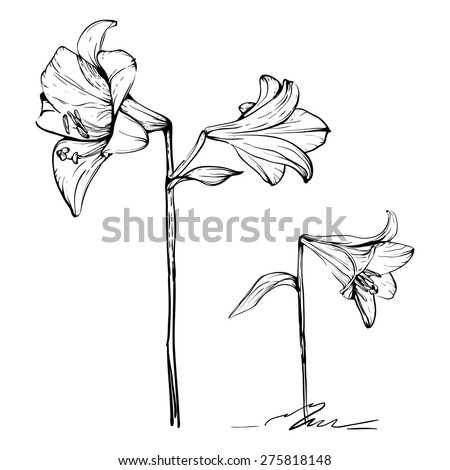 two outline artistic lilies - stock vector