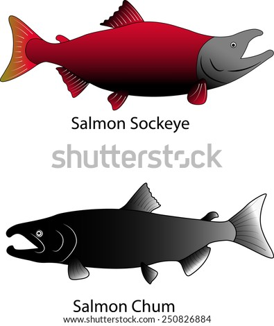 Two Salmons vector illustrations - stock vector
