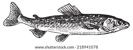Umbrine fish, vintage engraved illustration. Dictionary of words and things - Larive and Fleury - 1895. - stock vector
