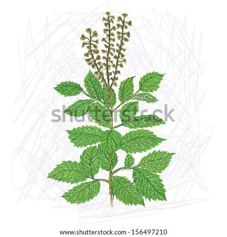 unique style illustration of exotic plant holy basil, scientific name Ocimum tenuiflorum