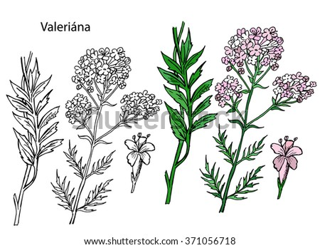 Valeriana officinalis. Handdrawn Illustration on the white background