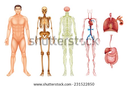Various human body systems and organs - stock vector