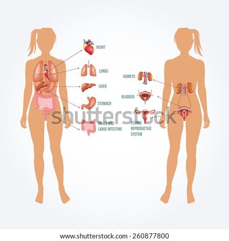 Vector anatomy illustration - stock vector