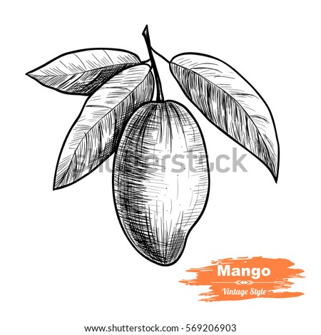 Vector background with mango. Hand drawn. Vintage style