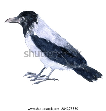 vector bird, crow painted by watercolor at white background, hand drawn  illustration