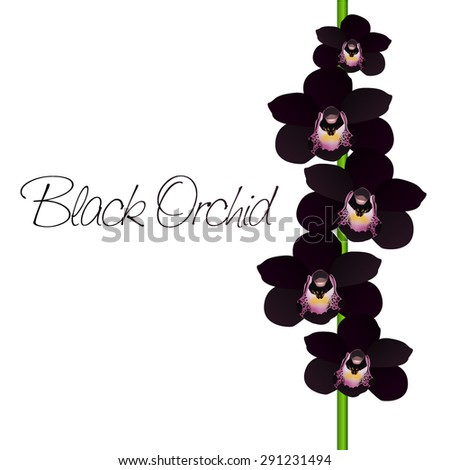 vector black orchid - stock vector