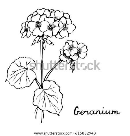 vector botany illustration geranium flower in black and white
