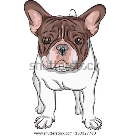 Vector closeup portrait of the domestic dog French Bulldog breed on the white background - stock vector