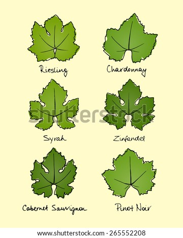 Vector collection of hand drawn wine grape leaves varieties. Riesling, Chardonnay, Syrah, Zinfandel, Cabernet Sauvignon and Pinot Noir grape leaves shapes with hand written names. - stock vector