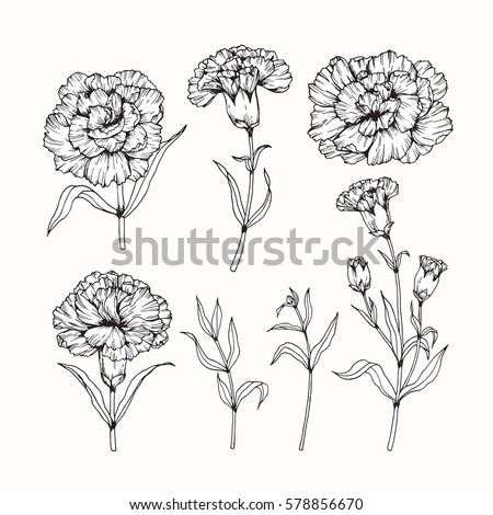 Flower carnation drawing images for Simple carnation drawing
