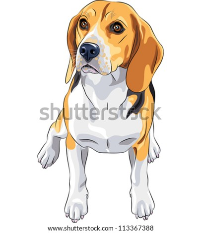 vector color sketch of the dog Beagle breed sitting - stock vector