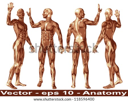 Vector concept or conceptual human or man 3D anatomy body with muscle isolated on white background a metaphor to medicine,sport,male ,muscular,medical,health,biology or fitness group,collection or set - stock vector