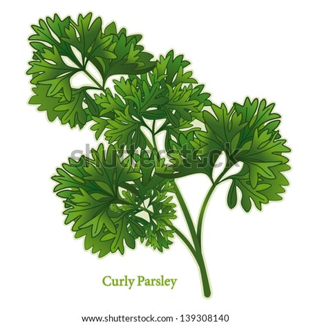 Parsley Illustration Parsley Stock Vectors ...