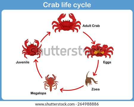 Vector Cycle Crab Kids 264988886 on Plant Life Cycle Kids