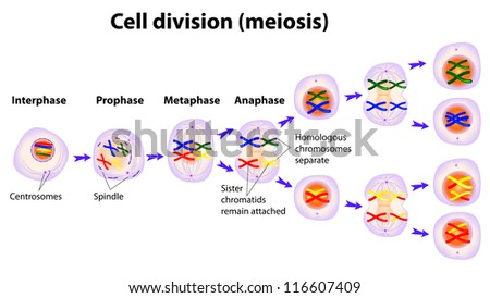Vector diagram meiosis phases stock vector 116607409 shutterstock vector diagram of the meiosis phases ccuart Choice Image
