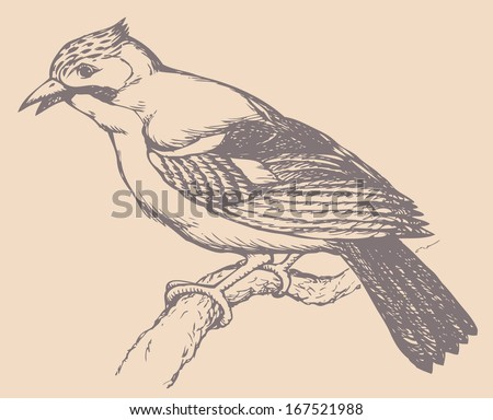 "Vector drawing of a series ""Birds"". Jays are several species of medium-sized, usually colorful and noisy, passerine birds in the crow family Corvidae.Most popular types is Eurasian Jay and Blue Jay - stock vector"