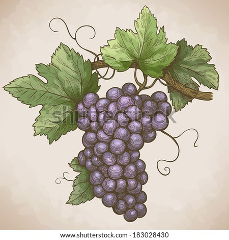 vector engraving illustration of grapes on the branch in retro style - stock vector
