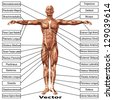 Vector eps concept or conceptual 3D human anatomy and muscle isolated on white background as a metaphor to body,tendon,spine,fit,builder,strong,biological,skinless,shape,posture,health or medical - stock photo