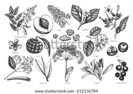 Vector floral collection. Vintage Hand drawn Perfumery and cosmetics ingredients set. Aromatic and medicinal plant.