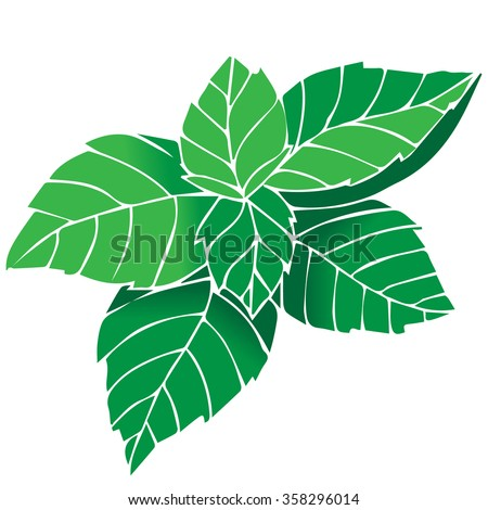 Vector fresh mint leaves on a white background. - stock vector