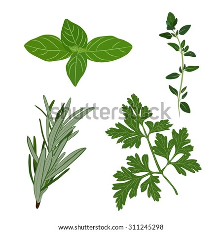 Vector fresh parsley, thyme, rosemary, and basil herbs. Aromatic leaves used to season meats, poultry, stews, soups, Bouquet granny - stock vector