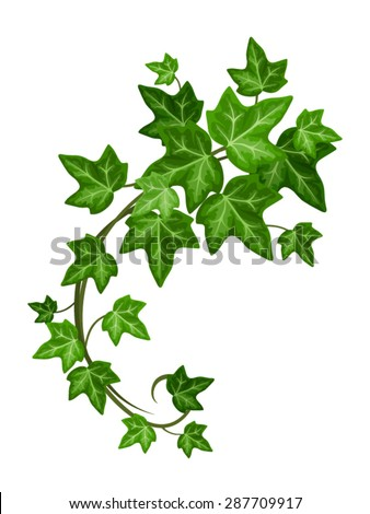 Vector green ivy branch isolated on a white background.