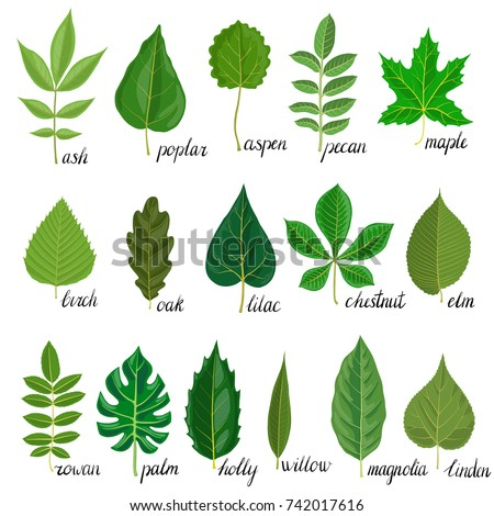 Vector Green Leaves Different Trees Isolated