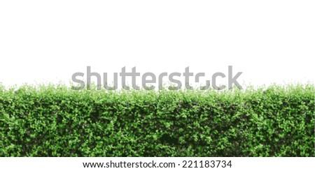 Vector green shrub fence on white background. - stock vector
