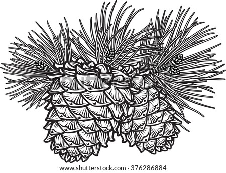 Vector hand drawn black and white realistic illustration of two pine cones with needles. - stock vector