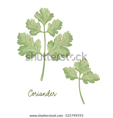 Vector hand drawn illustration of coriander plant isolated on white background