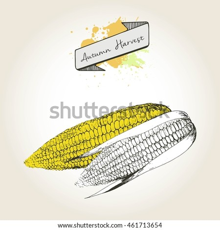 Vector hand drawn illustration of corn cobs. Engraved autumn vegetable isolated on vintage background. Harvest for cooking.