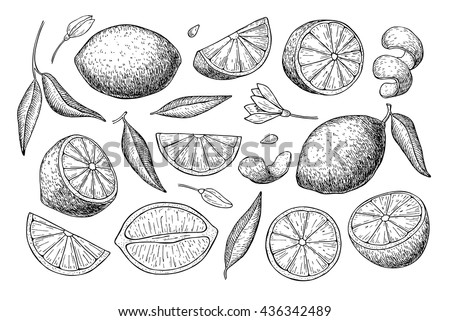 Vector Hand Drawn Lemon Set Whole Stock Vector 436342489 ...