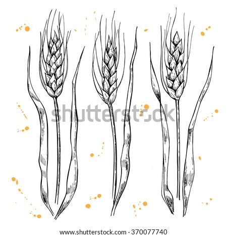 Vector hand drawn wheat ears set. Great illustration for bakery. - stock vector