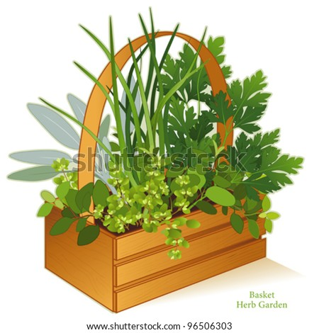 vector - Herb Garden in Wood Basket Planter. Cooking herbs, left-right: Italian Oregano, Sage, Chives, Flat Leaf Parsley, Sweet Marjoram. EPS8 compatible.   See other herbs and spices in this series. - stock vector