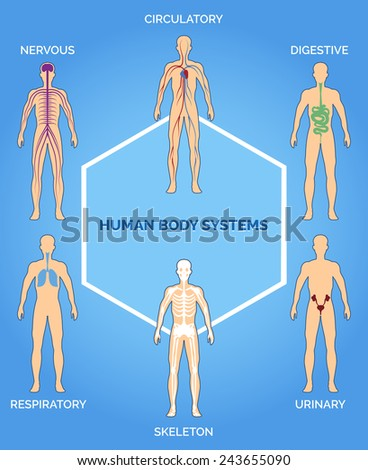Vector human body systems illustration. Nervous, respiratory, skeletal and urinary systems - stock vector