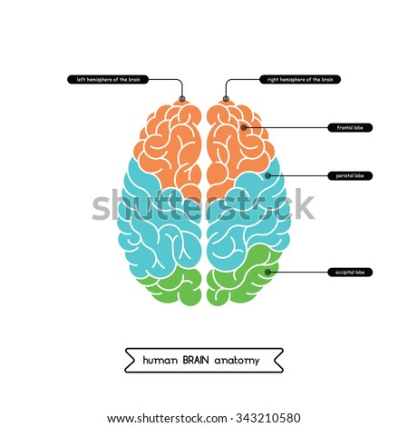 Vector human brain diagram.  Human brain diagram isolated on white background.  Human brain anatomy diagram. Vector brain top view. The left and right hemisphere of the human cerebrum. - stock vector
