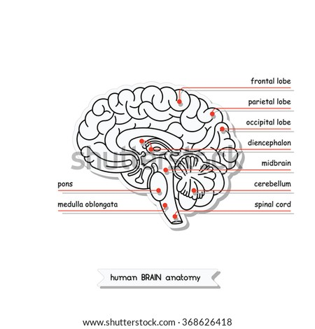 an analysis of leinigens views on the human brain We outline how the macroscopic size (weight, volume, or surface area) of a cortical region (such as v1) is related to the microstructure of functional brain regions (kaas, 2000) next we provide a framework to test this hypothesis by reviewing published data on v1 and visual behavior then we make an initial analysis,.