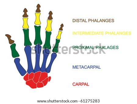vector human hand with description - stock vector