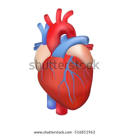 Vector Human Heart On White Background Stock Photo Photo Vector