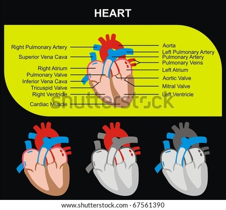 VECTOR - Human Heart Section Parts (Aorta, Right & Left Atrium & Ventricle, Pulmonary Artery, Tricuspid Aortic Mitral Valves, Cardiac Muscle, Superior & Inferior Vena Cava) Medical & Educational Use - stock vector